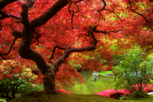 japanese-red-maple1